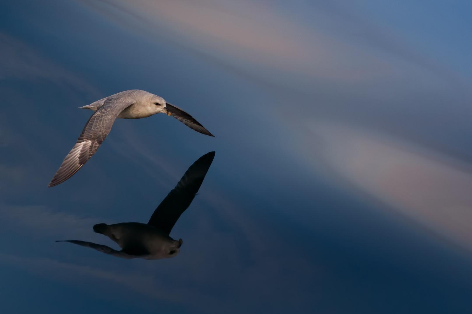 Studying the flying of Northern fulmar (Eissturmvogel / Fulmarus